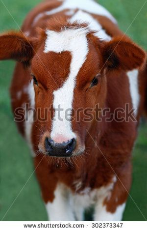 Cow looking