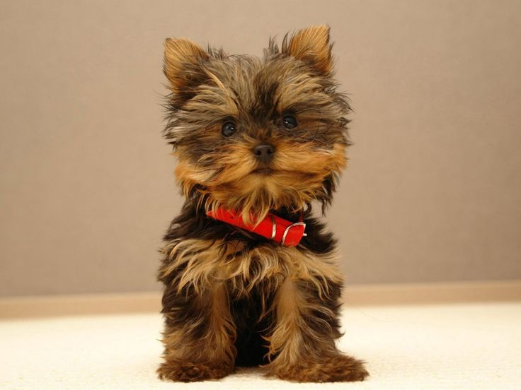 Papéis de Parede Grátis para PC - Filhotes de cachorro: http://wallpapic-br.com/animais/filhotes-de-cachorro/wallpaper-37631