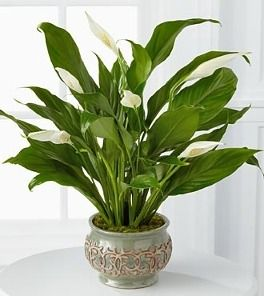 17 best ideas about water plants indoor on pinterest for Low maintenance plants for office