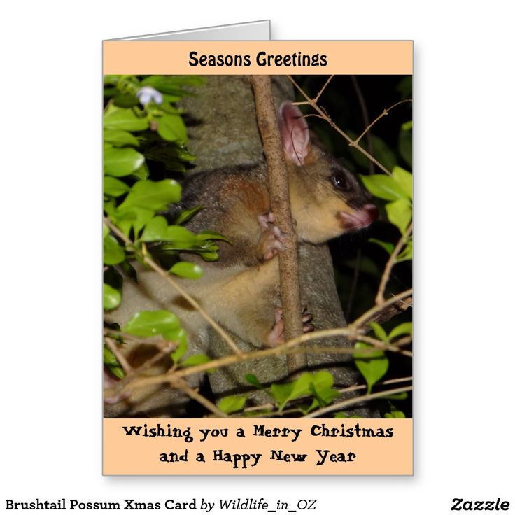 Brushtail Possum Xmas Card - Australian Wildlife. Click on photo to view item then click on item to see how to purchase that item. Kookaburra Xmas Card - #christmascard #xmascard #possum #brushtailpossum #wildlife #australianwildlife #zazzle