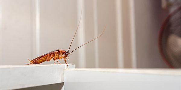 Para evitar visita indesejada, aprenda uma receita natural para eliminar baratas.