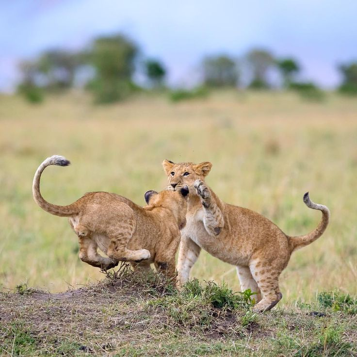 "@jackiebadenhorst on Instagram: ""Lion Cubs just having some fun #lion #bigcats #Africa """