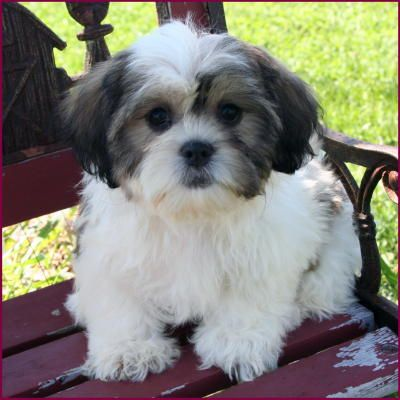 Maltese Shih Tzu Dog Breed Information  Pictures  Characteristics     Designer Dogs Online Shih Tzu dog breed