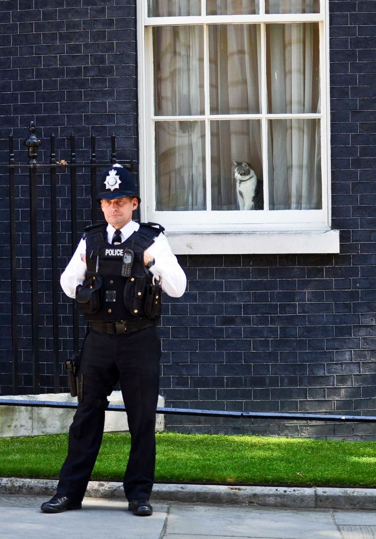 Larry the cat doing his job in the window of 10 Downing Street. A former shelter cat, Larry is Chief Mouser for the Prime Minister and Cabinet Office.