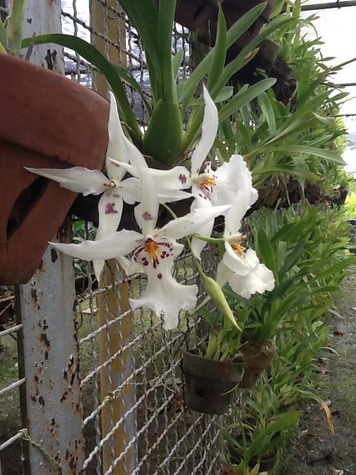 White Fairy : Oncidium