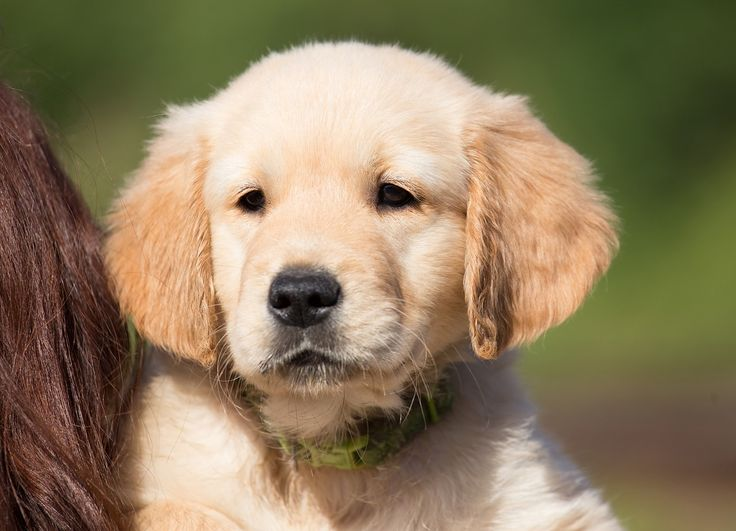 How To Choose A Puppy For Your Family