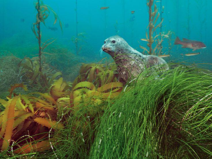 """Paesaggi sommersi  Fotografia di Brian Skerry, National Geographic    Una foca comune fa capolino da una foresta di alghe kelp nel Cortes Bank, una serie di rilievi sottomarini al largo di San Diego. Queste basse montagne sommerse ricche di luce ospitano una grande varietà di forme di vita. """"Sono come oasi negli abissi"""", dice lo studioso Bruce Robison del Monterey Bay Aquarium Research Institute in California"""