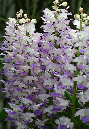 The Ryhnchostylis coeleste main characteristic upright flowering stem with more than 25 flowers blue-violet hue in each structure. Moreover, its sweet scent is well appreciated.