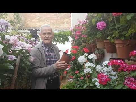 YouTube Cuidado de los geranios y trucos. El patio andaluz más bonito