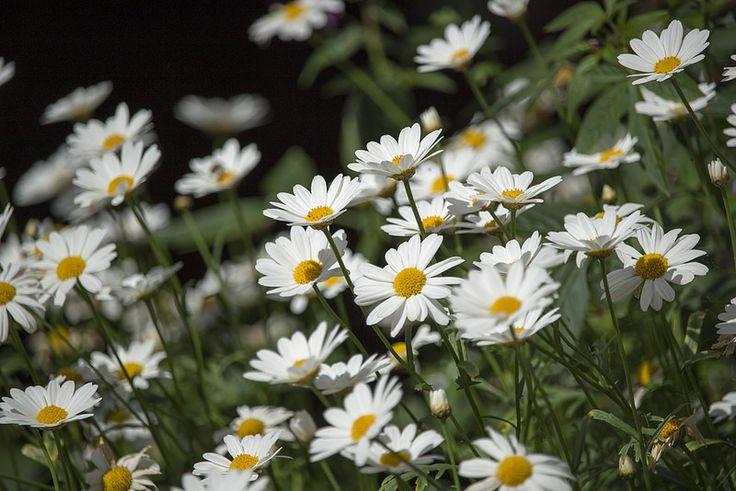 Flowers   by visitsouthcoastfinland #visitsouthcoastfinland #Finland #Lohja #flowers #daisy #flowerfield #kukkia #päivänkakkara