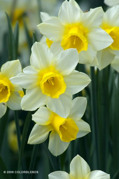 "A photograph of the the spring flowering Daffodil Bulbs cultivar ""Golden Echo"""