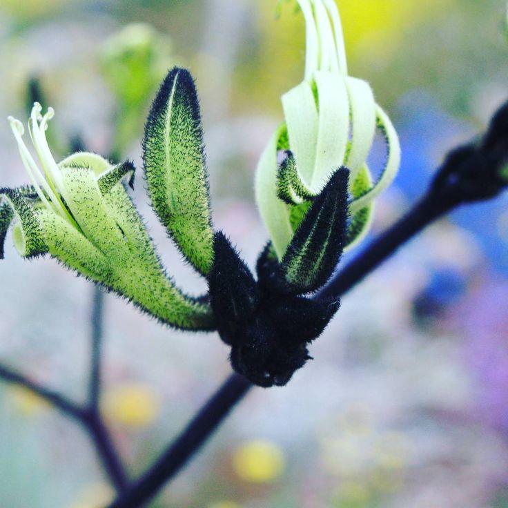 Black kangaroo paw #pretty #botanical #flower #kangaroopaw
