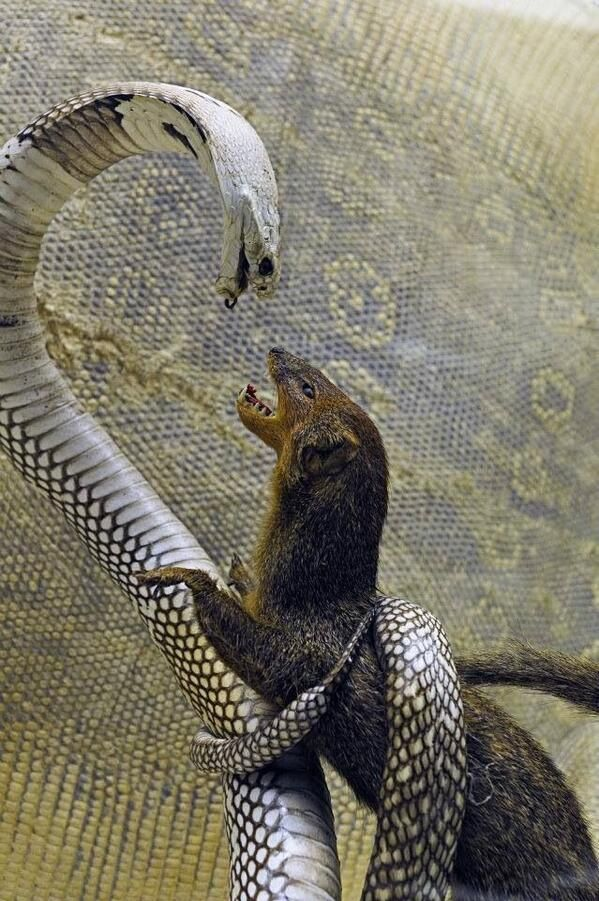 Mongoose and Snake. Whether this is actual or taxidermy it is AWESOME