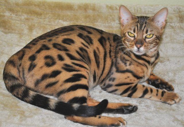 oriental siamese kittens for sale