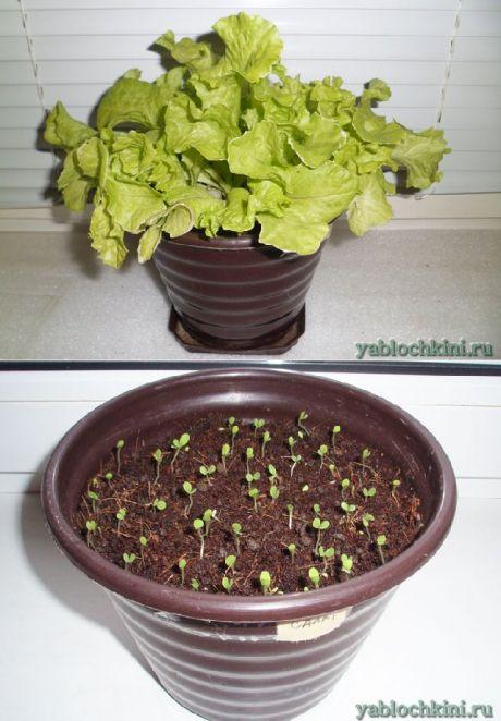 выращивание листового салата на подоконнике |