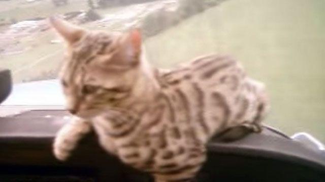 Bengal Cat Landing in a Cessna