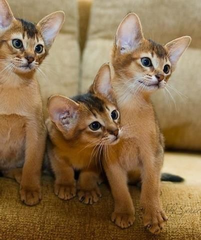 The Abyssinian is a breed of domestic shorthaired cat. This expensive breed is active, intelligent and adores playing games. They love water and are very good swimmers and are incredibly loyal to the people they love.
