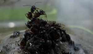 """""""Ants build raft to escape flood, protect queen-When facing a flood, ants build rafts and use both the buoyancy of the brood and the recovery ability of workers to minimize injury or death..."""""""
