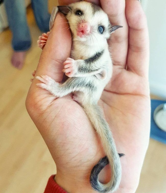 This baby sugar glider has a tail that's longer than she is.