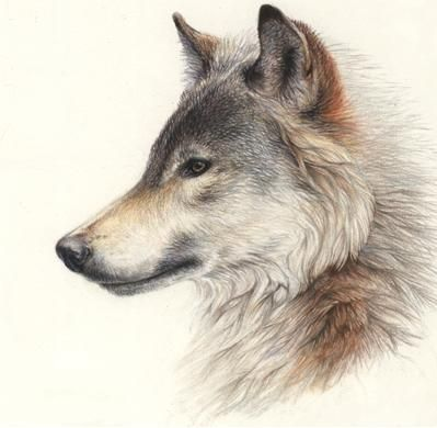 Wolf side view drawing - photo#12