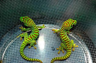 Super crimson giant day geckos