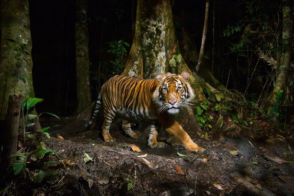 Photograph by Steve Winter, National Geographic,   A tiger peers at a camera trap it triggered during a morning hunt in the forests of northern Sumatra, Indonesia.