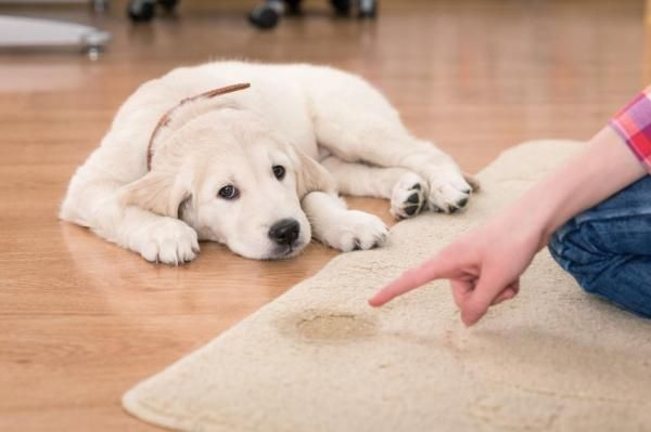Como ensinar meu cachorro a fazer as necessidades no jornal