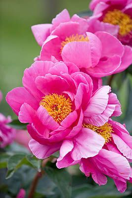 ✯ Peonies .. deep pink with orange centers ...