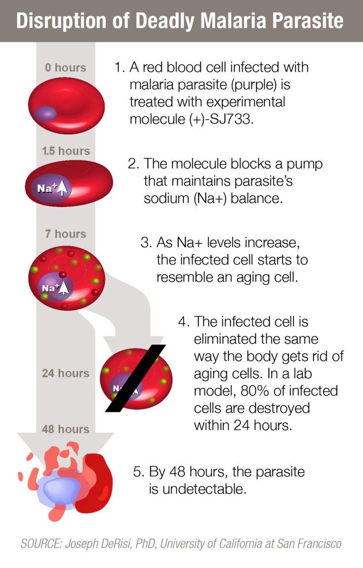 Experimental Drug Kills Malaria Parasite In 2 Days | IFLScience
