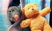 Peek-a-boo! Orphaned baby wombat gets new pouch