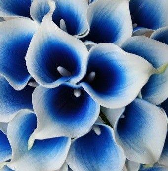 Blue calla lily flower