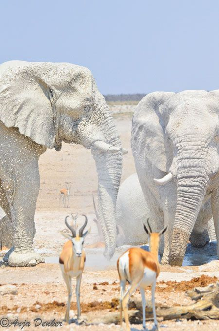 """Etosha National Park, Namibia, Africa - elephants coated in the white clay of the area appear to be """"white ghosts"""""""