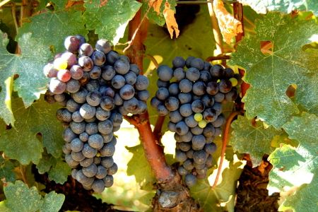 The original Bolgheri Grapes