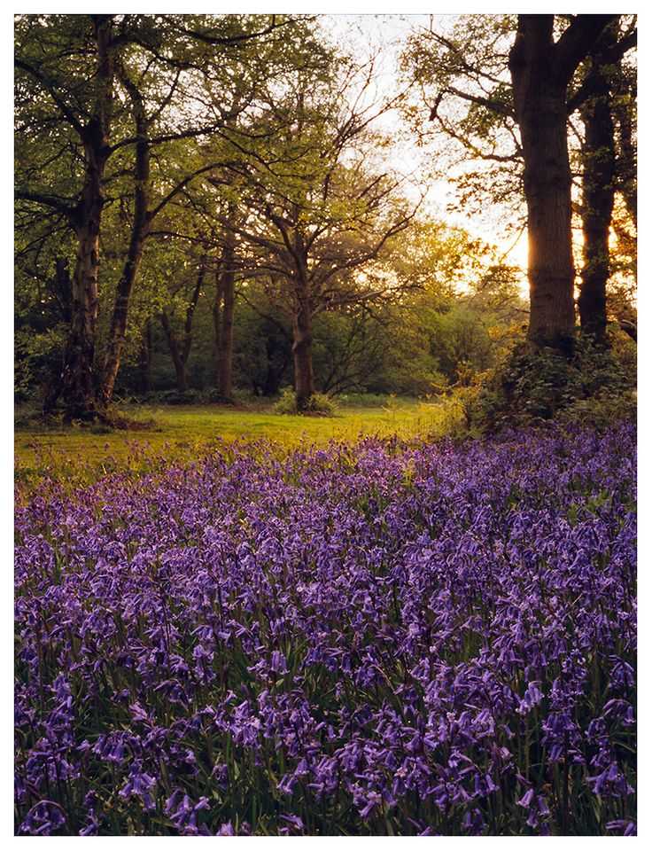 Bluebells in Epping Forest, Essex, England.