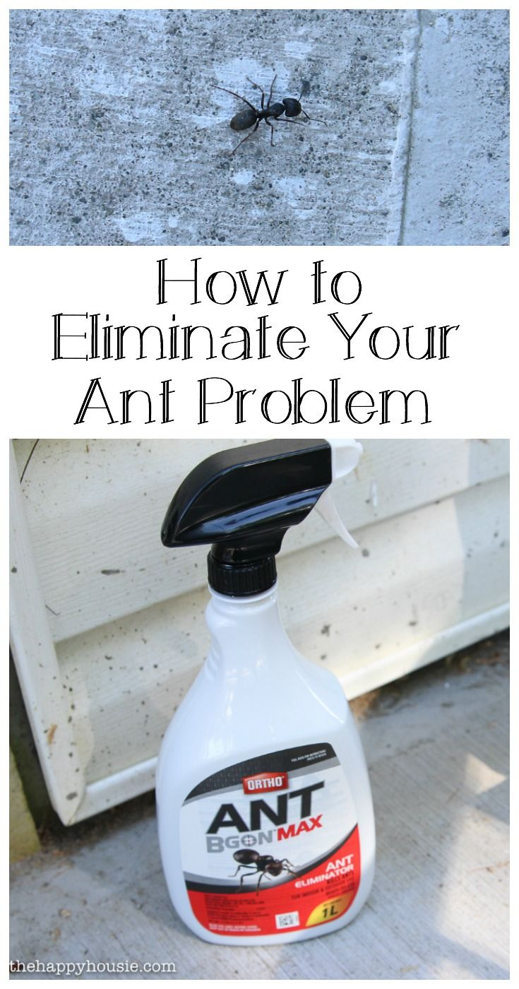 How to Tackle Your Ant Problem - The Happy Housie
