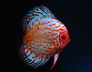 Spotted Strawberry Discus