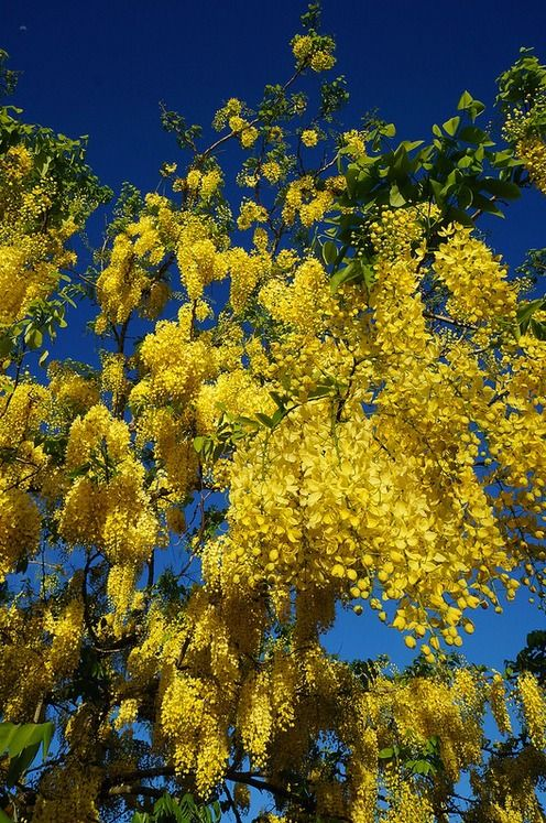 28 best images about australian trees on pinterest for Landscape plants of the southeast