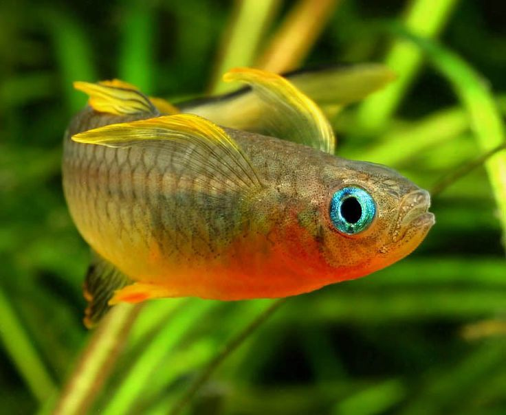52 best images about rainbowfish co on pinterest neon for Rainbow fish care