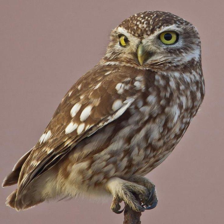 Vogel des Monats: der Steinkauz