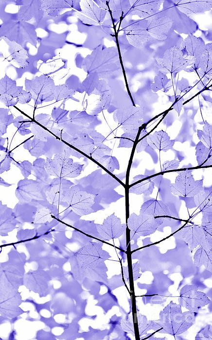 Purple Lavender Leaves Melody Print By Jennie Marie Schell