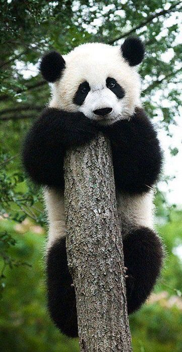 Awesome Animals. Perfect Pets. Baby panda bear ✿⊱╮ More