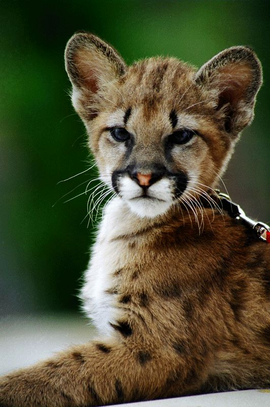 433 best images about Felidae and Other Members of the Suborder ...
