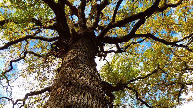 Lors de la vente des appartements de la Résidence Eden park à Blotzheim le fait qu'un très beau chêne centenaire se trouvait sur la propriété et que celui-ci était protégé a été présenté comme un argument de vente.    Il se trouve qu'à l'heure actuelle, la vie de cet arbre se trouve menacée et son abattage...