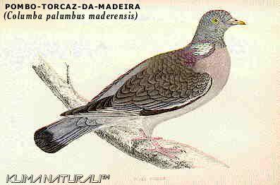 POMBO-TORCAZ-DA-MADEIRA (Columba palumbus maderensis) | Klima Naturali™
