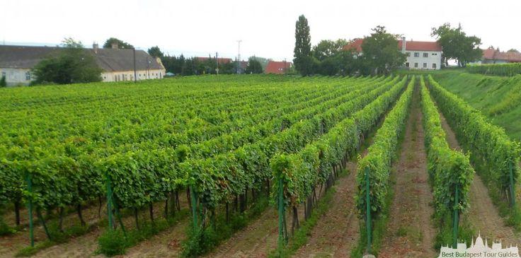 Tour au lac Balaton en Hongrie avec beaucoup de vignes et de caves à vin! Avec du vin local, n' oublier pas de goûter la soupe des   pêcheurs de la Hongrie, en carpe locale. http://bestbudapesttourguides.com/fr/choisir_un_guide-page-3/katalin_zoesomfai-guide-31/