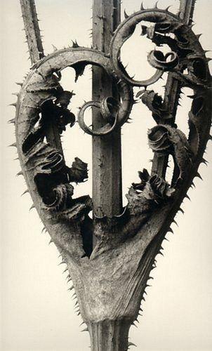 Karl Blossfeldt (1865-1932) botanical fine art photographer - Dipsacus Laciniatus
