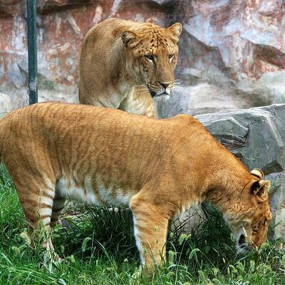 A liger is a hybrid cross between a male lion and a tigres. What are ligers best known for? Large size! Ligers are the largest known cats in the world, reaching over 400 kg. In contrast, pumapards (hybrids between pumas and leopards) tend to exhibit dwarfism.