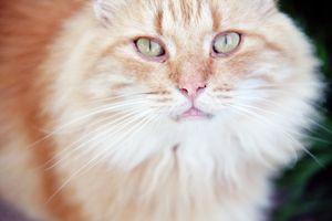 Načechraný Orange Cat: Zblízka pohled na načechrané oranžové kočky s světle zelené oči zírající.