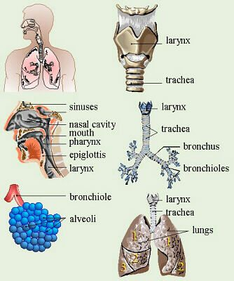 What is the respiratory system? I t is the body system that is responsible for bringing in oxygen and letting out carbon dioxide into and out of your body, A specific form of respiration is...