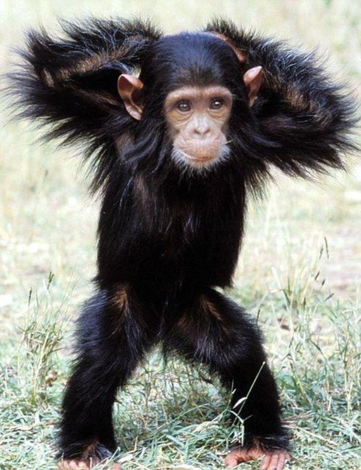 baby chimpanzee                                                                                                                                                                                 More